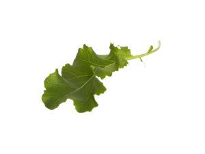 Finbladig Grönkål